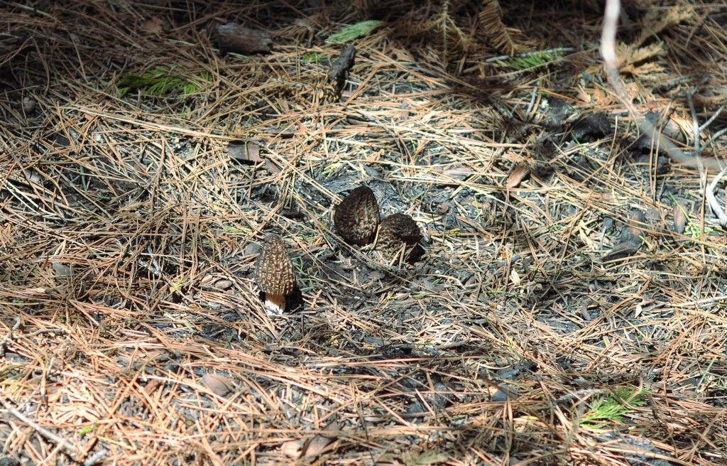 morels in their natural setting