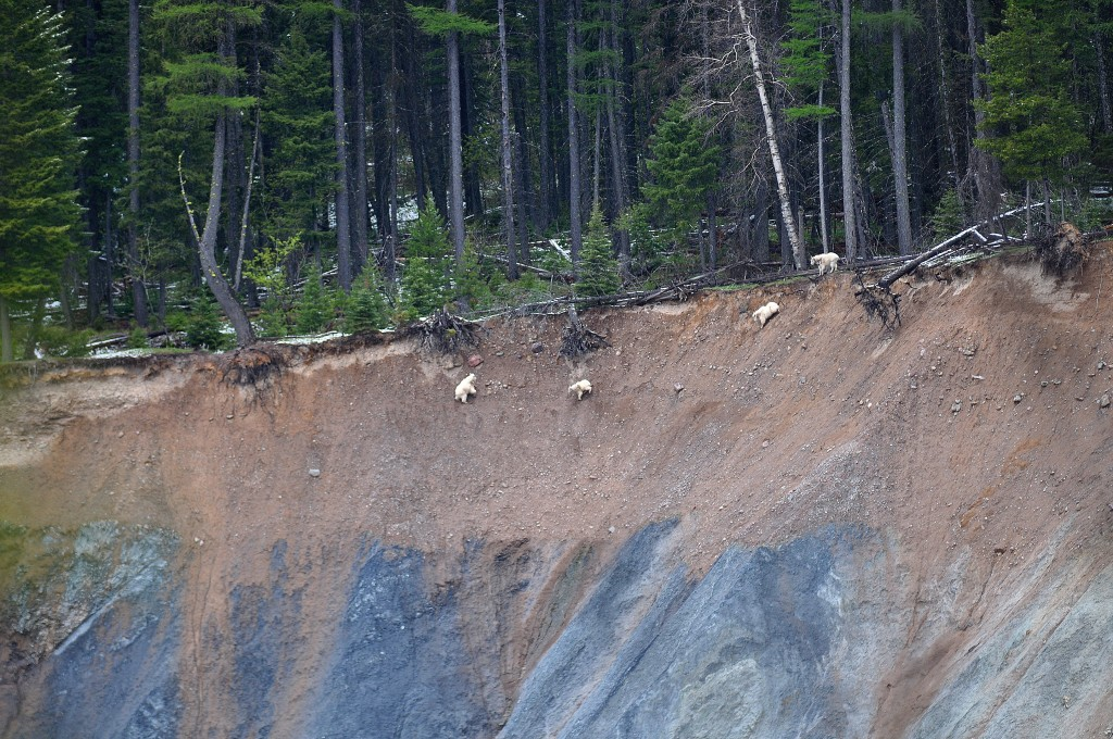family of mountain goats on cliff